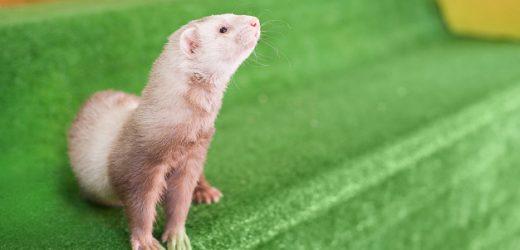 荷兰将对全国水貂做抗体测试;多种动物被爆出感染病毒,要恐慌吗?